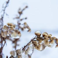 Pąki #2 - Zima 2013, Fotograf Dębica